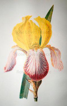 Digital Download Iris Botanical Print Color by roselovespeace