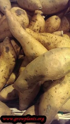 Sweet potato plant - How to grow & care Sweet Potato Plant, Growing Sweet Potatoes, Yams, Vegetables, Plants, Food, Essen, Vegetable Recipes, Meals