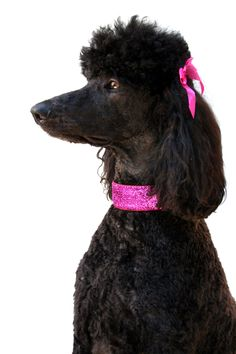 Standard poodle Darla wearing her pink glitter collar <3