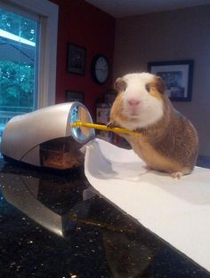 Stuff My Guinea Pig Does (9 Cute Pics). I just can't deal with this magnitude of cuteness.