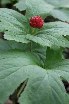Growing At-Risk Medicinal Plants