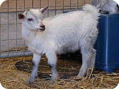 Union, MO - Goat. Meet SPRITE, a pet for adoption. http://www.adoptapet.com/pet/11375273-union-missouri-goat