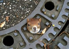 A spirited squirrel got stuck in a manhole cover in a street in Isernhagen, northern Germany, August 5, 2012. The squirrel was finally rescued and set free by police after several attempts using olive oil had failed. It was only when it occurred to one of the officers to press the squirrel's ears back that it slipped safely out of its street-bound snare. The squirrel was reportedly recovering in a nearby garden. (AFP Photo).