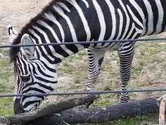 Oakland Zoo - Zebra
