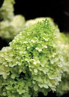 These are growing in quart containers and are 6 to 10 inches tall for only $6.89 each.     HYDRANGEA PANICULATA 'ZWIJNENBURG' - (Limelight Hydrangea): A new flower color. Bright lime-green flowers appear in late summer on vigorous upright rounded plants. Best in full sun in well drained soil with adequate summer moisture. A great specimen, border or massing plant. This wonderful hydrangea grows to 6 to 8 feet tall and wide. Zones 3 to 8.    Have any questions? Contact the shop owner.
