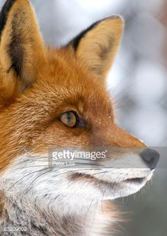 Red Fox (Vulpes vulpes) Red Fox (Vulpes vulpes)