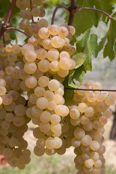 Veronica's Vineyard