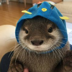 Asian Small Clawed Otters For Sale california, los angeles. I got male and females ready and available now. They are 12 weeks old and supp. Cute Little Animals, Cute Funny Animals, Cute Dogs, Funny Animal Quotes, Animal Memes, Baby Sea Otters, Otters Cute, Pets For Sale, Cute Creatures