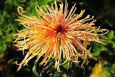 Studio Floral Dora Santoro: Crisântemo Oriental