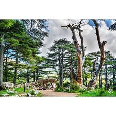 The amazing Cedars of Lebanon