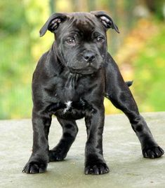 English Staffordshire Bullterrier - the sweetest dogs