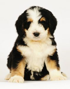 73 Best Bernedoodles Images Puppies Dogs Bernese