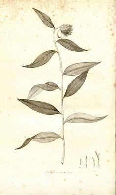 127088 Lycoseris mexicana (L.f.) Cass. [as Atractylis mexicana L.f.]  / Smith, J.E., Plantarum icones hactenus ineditae, vol. 3: t. 66 (1789-1791)