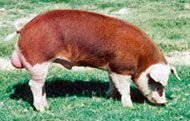 History and Information about Hereford Hogs.