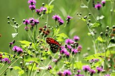 This brief guide to butterfly gardening in Houston will help you create a sanctuary for these beneficial pollinators!