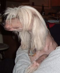 Skylar (TX) Missing! is an adoptable Chinese Crested Dog Dog in Ingram, TX. Skylar is MISSING...REWARD OFFERED....Please contact Merryl ( adenaglass@omniglobal.net ) for more information about this pe...