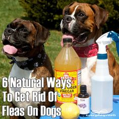 ❤ 6 Natural Ways To Ged Rid Of Fleas On Dogs ❤
