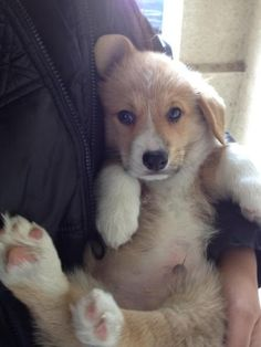 108 Reasons Why Corgis Are Great