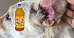 Apply Apple Cider Vinegar To Your Dog's Ear The Second You Notice Any Of These Signs Of Infection