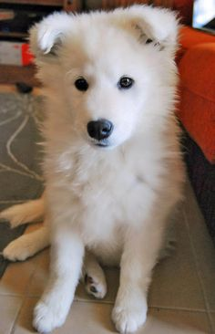 Samoyed puppy - so white!
