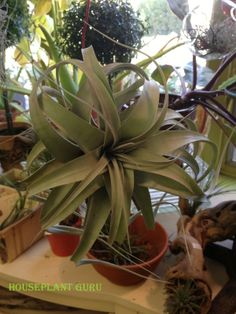 Tillandsia xerographica is a gorgeous huge air plant.