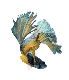 If you want to know how to take care of Betta fish, this article will help you get started and get rid of some of the most common misconceptions that people have about these fish. Poisson Combatant, Beautiful Creatures, Animals Beautiful, Betta Fish Tattoo, Animals And Pets, Cute Animals, Siamese Fighting Fish, Fish Swimming, Beautiful Fish