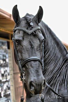 "Love the ""V"" browband... (Photo by Kevin Kidder)"