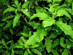 Planta Medicinal Mastruz : Para que Serve e Benefícios
