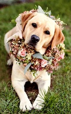 Yellow Labrador wedding dog flower crown Toni Kami❀Flowers in their coats❀ Patricia Lyons Photography
