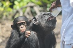 Humane Society of the United States | Save the Abandoned Chimps GoFundMe campaign to provide emergency funds to care for 60 chimpanzees abandoned in Liberia.