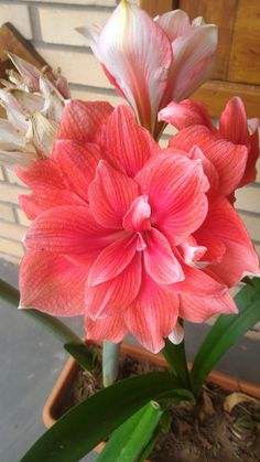 Amaryllis Diva ✨ 🌸 🌹 ᘡℓvᘠ❤ﻸ•·˙❤•·˙ﻸ❤□☆□ ❉ღ // ✧彡☀️● ⊱❊⊰✦❁ ❀ ‿ ❀ ·✳︎· ☘‿FR DEC 08 2017‿☘ ✨ ✤ ॐ ♕ ♚ εїз ⚜ ✧❦♥⭐♢❃ ♦•● ♡●•❊☘ нανє α ηι¢є ∂αу ☘❊ ღ 彡✦ ❁ ༺✿༻✨ ♥ ♫ ~*~♆❤ ✨ gυяυ ✤ॐ ✧⚜✧ ☽☾♪♕✫ ❁ ✦●❁↠ ஜℓvஜ Exotic Plants, Exotic Flowers, Colorful Flowers, Cactus Plants, Wonderful Flowers, Beautiful Roses, Beautiful Gardens, Beautiful Flowers, Amaryllis Bulbs