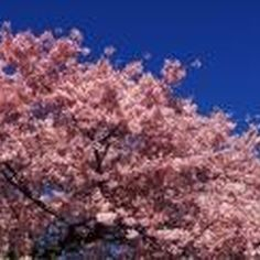 The Yoshino cherry trees in bloom in Washington D.C. are a sight to see.