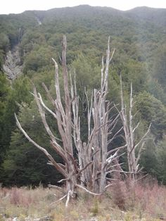 Dead trees in Nelson Lakes National Park, NZ