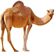 Camel PNG Images On this site you can download free Camel PNG image with transparent background.