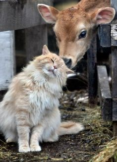 Fluffy gold cat - No barn is complete without a few mousers!  This one seems to have made a bovine buddy!