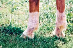 Treatment for equine scratches (aka dew poisoning, mud poisoning, etc.)