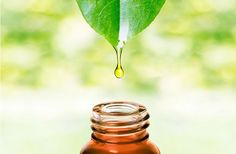 Top 10 Benefits Of Ravintsara Essential Oil , Are you looking out for a multipurpose oil that may not simply deal with a nip but additionally work wonders on a nagging headache? Diluting Essential Oils, What Are Essential Oils, Huile Tea Tree, Tea Tree Oil, Abscess Tooth, Ravintsara, Herbal Essences, Oil Benefits, Lavender Oil