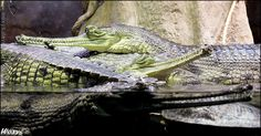 Gharial (Gavialis gangeticus, gavial indicky) from ZOO Prague, Czech republic. Gharials are extremelly endangered species of crocodile: only 200 (180 females and 20 males) of them are still alive i... woxys