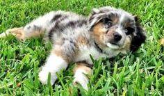australian shepherd puppy by MeShay Hammond
