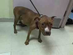 GONE 7-22-2015 --- Staten Island Center CARDINAL – A1044815  ++++++MULTIPLE MASSES – NEEDS VET CARE ASAP+++++++++I am an unaltered female, brown and white Pit Bull Terrier mix.  The shelter staff think I am about 4 years old.  I weigh 33 pounds.  I was found in NY 10301.  I have been at the shelter since Jul 20, 2015.