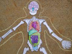 skeleton with organs