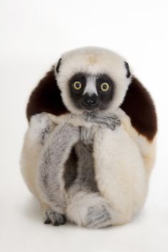 This Photographer Is on a Mission to Document 12,000 Animal Species before They Go Extinct A Coquerel's sifaka, Propithecus coquereli, at the Houston Zoo. Photo by Joel Sartore/National Geographic Photo Ark.