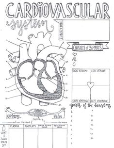 These sketch notes cover the basics of the Cardiovascular System!  This 1 page note taking device is a great way to either introduce or review at the end of the content.  Students can label the diagram of the heart and quickly refer to important key points about the heart, blood vessels, and blood.