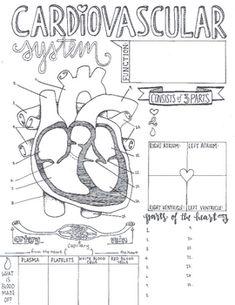 circulatory system worksheet | Circulatory system, Science ...