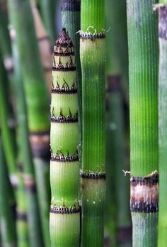 Equisetum #patterns and textures in nature