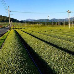 Чайные поля рядом с Киото #чай #поле #сх #поля #чайныеплантации #чайный #Киото #Сига #Нара #сенча #сэнтя #гёкуро #маття #матча #небо #сельский #сельскаяжизнь #Япония #японскийчай #зеленыйчай #японский #tea #japanesetea #teafarm #sencha #greentea