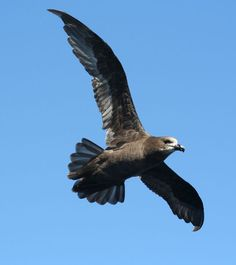 Great-winged Petrel         pterodroma Macpoptera