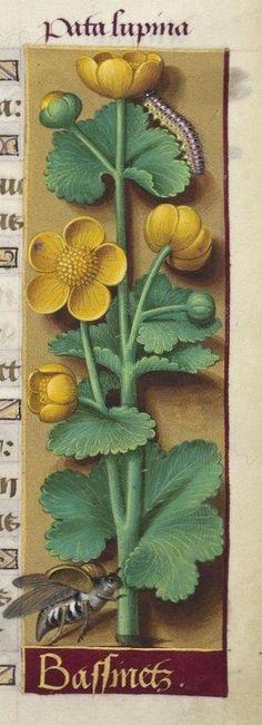 Jean Bourdichon, Grandes Heures d'Anne de Bretagne, 1503-1508. Paris, BNF, Latin 9474, f. 139r: Bassinetz / Renoncules / Ranuncoli