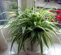 Spider Plant Family-great for indoors.  cleans the air and is easy to maintain
