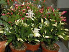 Шлюмбергера усеченная. Иначе: Шлюмбергера трунката  Schlumbergera (Zygocactus) truncata Семейство Кактусовые (Cactaceae)